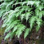 Licorice Fern Polypodium glycyrrhiza