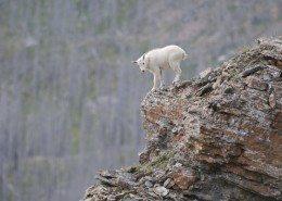 Flathead_baby mountain goat_JR27585_Joe Riis iLCP_low res