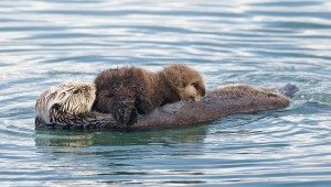 Sea otter nursing_Mike Baird