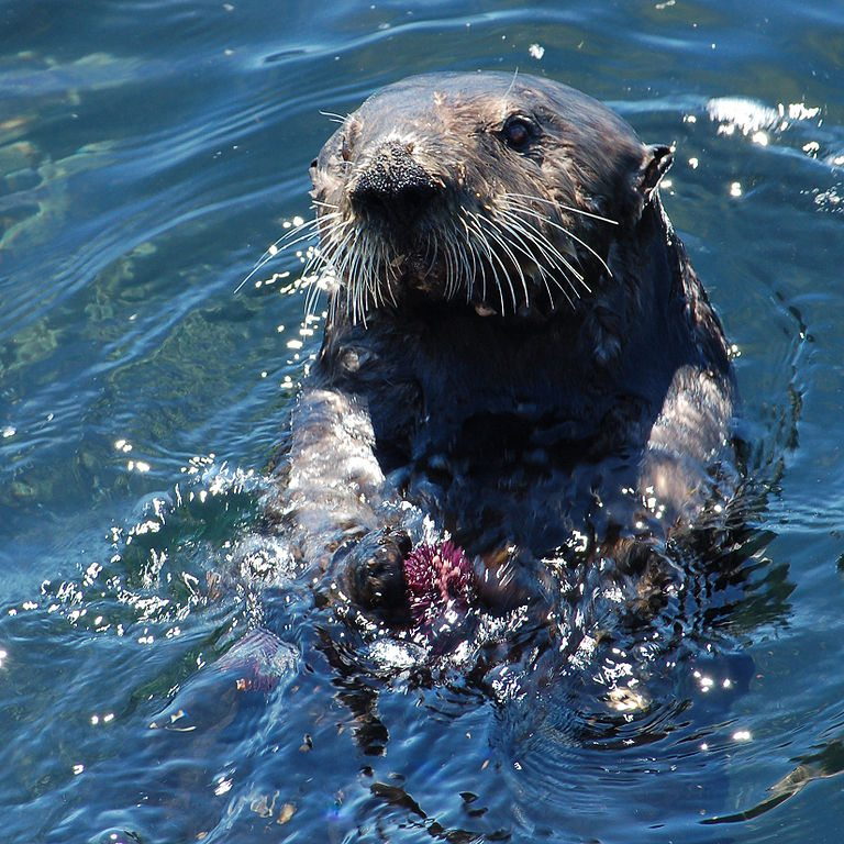 Sea Otters can have a strong influence on the function and structure of nearshore waters making them a keystone species. Photo by Matt Knoth