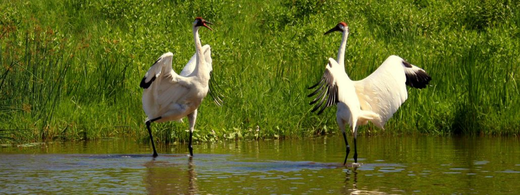 whooping-crane-creative-commons-from-flickr_cropped