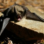 Keen's Long-Eared Bat
