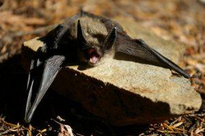 Keen's Long-Eared Bat