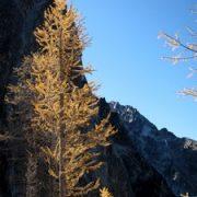 Alpine Larch