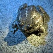 Great Basin Spadefoot Toad