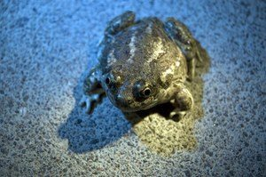Great Basin Spadefoot Toad