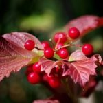 Highbush-Cranberry