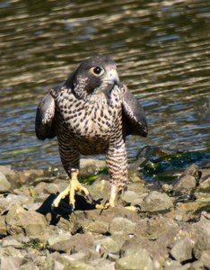 Peale's Peregrine Falcon