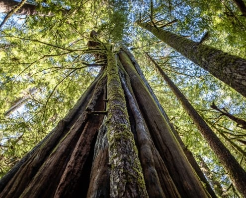 A magnificent ancient red cedar in Avatar Grove.. (Photo by Mya Van Woudenberg/Sierra Club BC)
