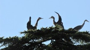 Great Blue Herons in Beacon Hill Park - Photo by Rikki Ayers