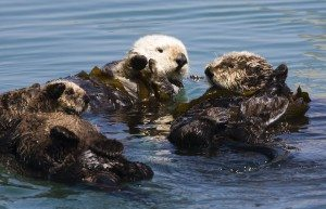 Four sea otters photo by Mike Baird