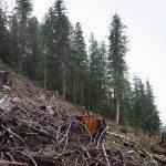 Logging Walbran photo by TJ Watt