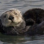 Mother Sea Otter with pup by Mike Baird