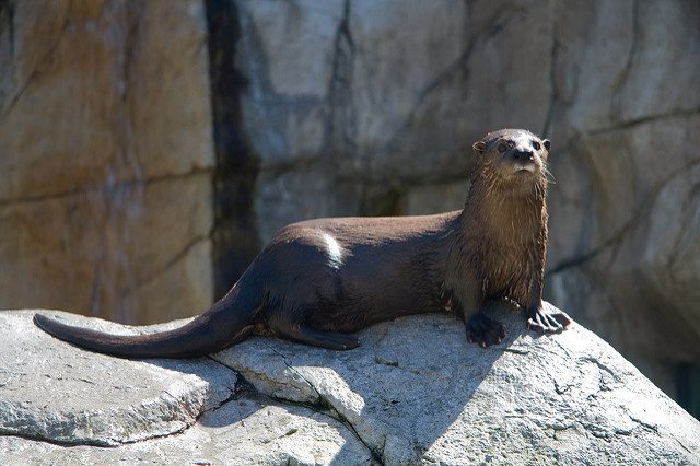 Sea otter and river otters are different in behaviour and appearance. Photo by Jason Pratt