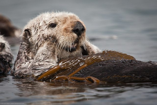 Sea otters are arguably the cutest animal on the planet! Photo by Mike Baird