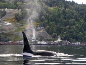 orca at bamberton Wilf Matchem