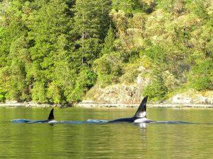 orca at bamberton