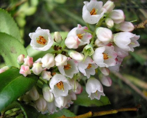 Huckleberry flowers