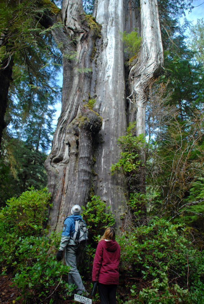 Old-growth in the Walbran Valley.