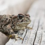 The blue-listed Western Toad. Photo by Jon Nelson. Published under CC BY 2.0