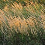 Pinegrass