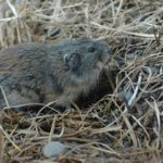 Brown Lemming