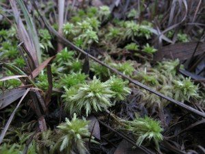 Common Green Sphagnum Moss