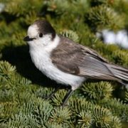 Gray Jay (Whiskey Jack)