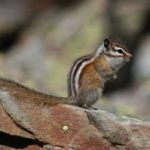 Least Chipmunk