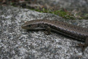 Northern Alligator Lizard - Sierra Club BC