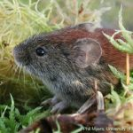 Northern Red-backed Vole