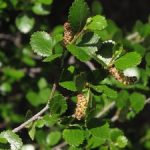 Scrub Birch