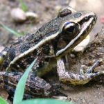 Spotted Leopard Frog