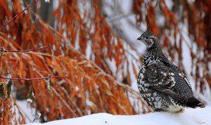 Spruce Grouse