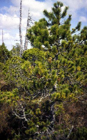 Lodgepole Pine Sierra Club Bc