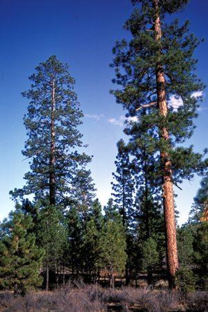 Ponderosa Pine Sierra Club Bc