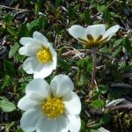 White Mountain-Avens