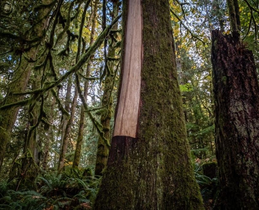 A culturally modified tree in SELEKTEȽ/Goldstream