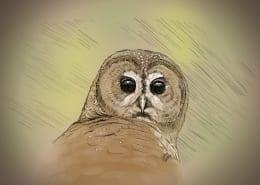 Spotted Owl (Strix occidentalis) portrait by Julius Csotonyi