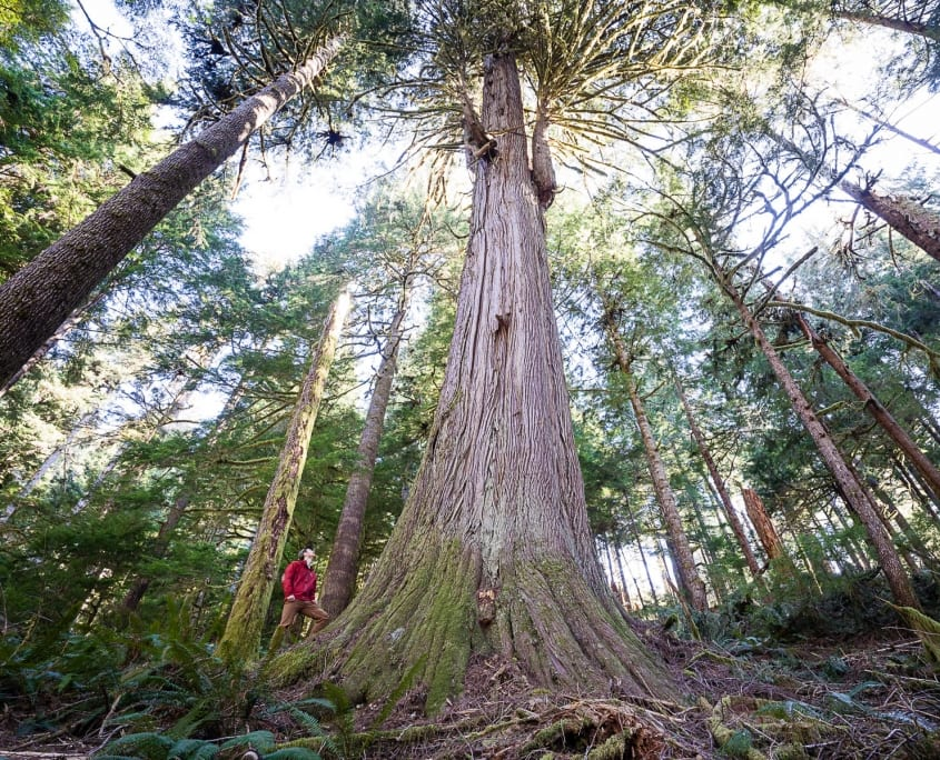 A stunning cedar stands in the Caycuse Watershed. Photo of this old-growth stand by TJ Watt/Ancient Forest Alliance