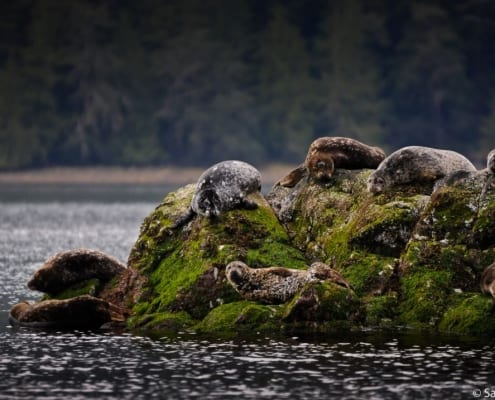 seal, seals, harbour seal, clayoquot sound, sierra club bc, 50 places