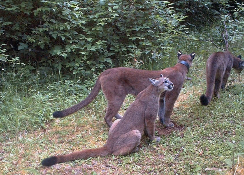 cougar, sooke, sooke hills, wildlife