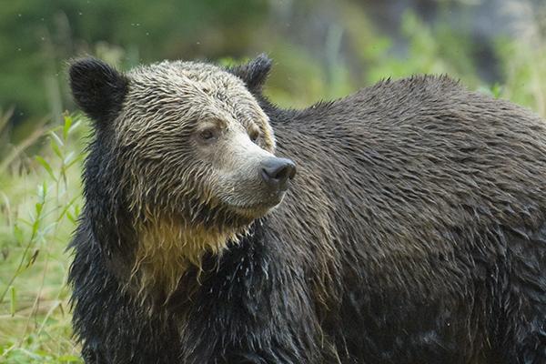 bear, grizzly bear, animal, bears