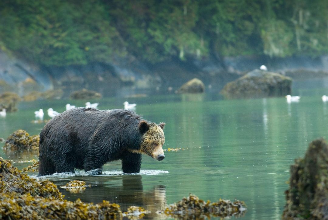 grizzly bear, bears, bear