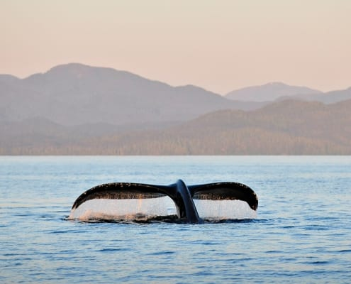 whale, great bear rainforest, sunset