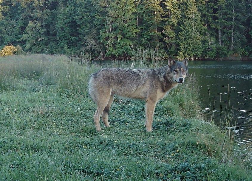 wolf, wolves, wildlife, bc,, sooke, sooke hills