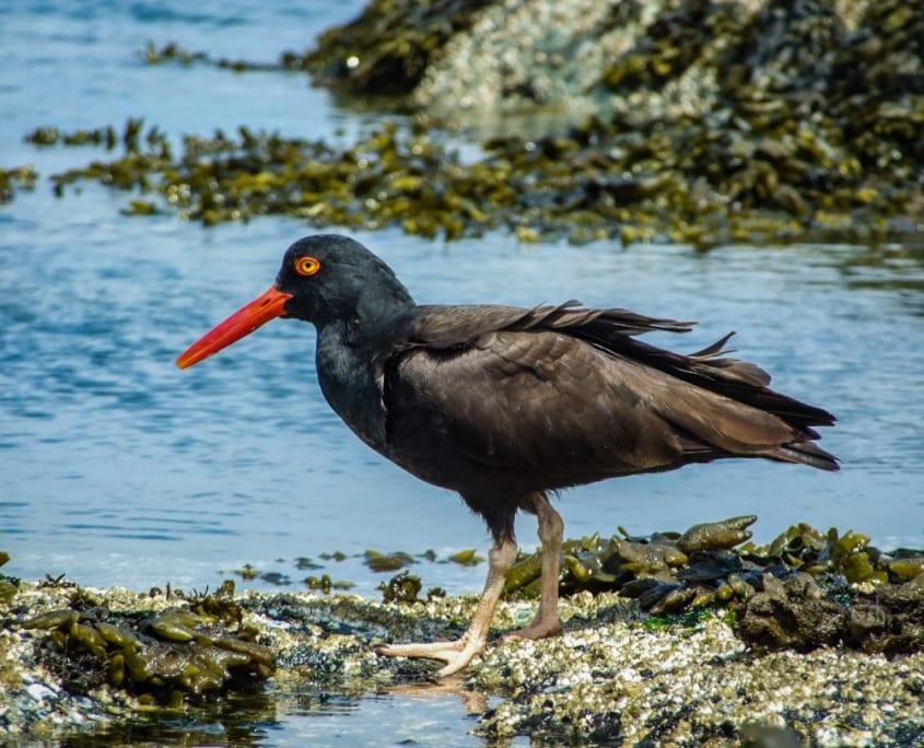 bird, oyster catcher, coastal, ocean, leave no trace