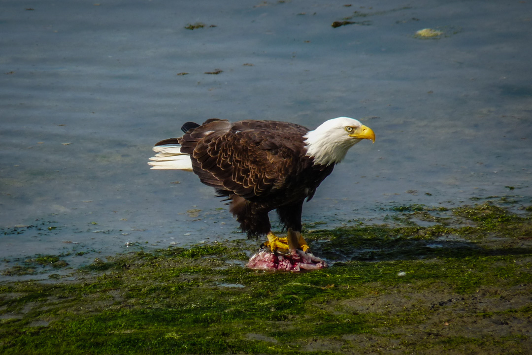 eagle, bald eagle, british columbia