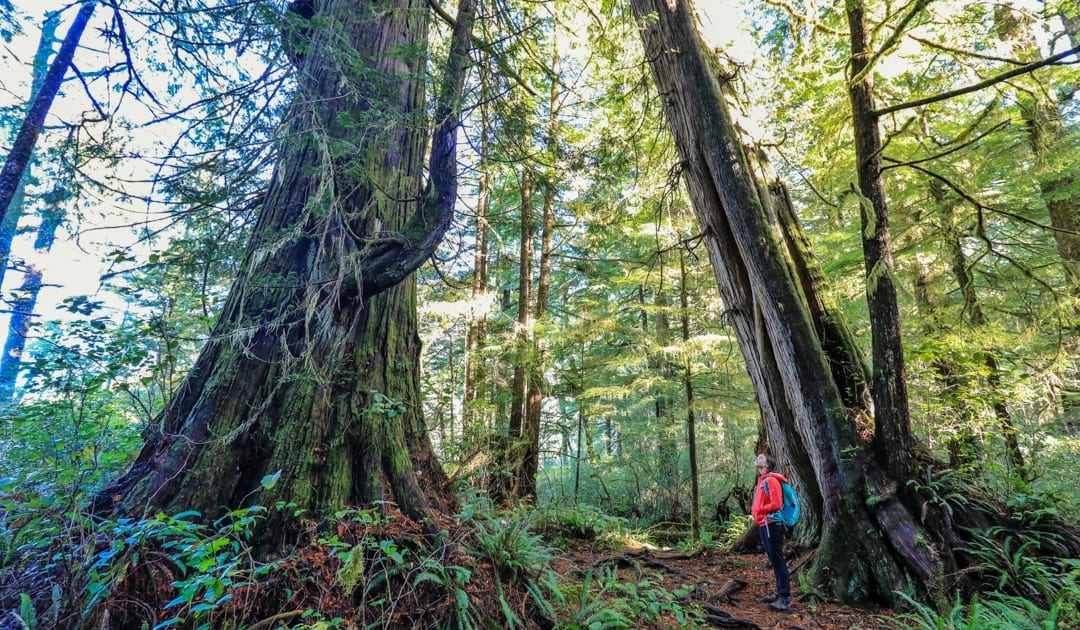meares island, island, forest