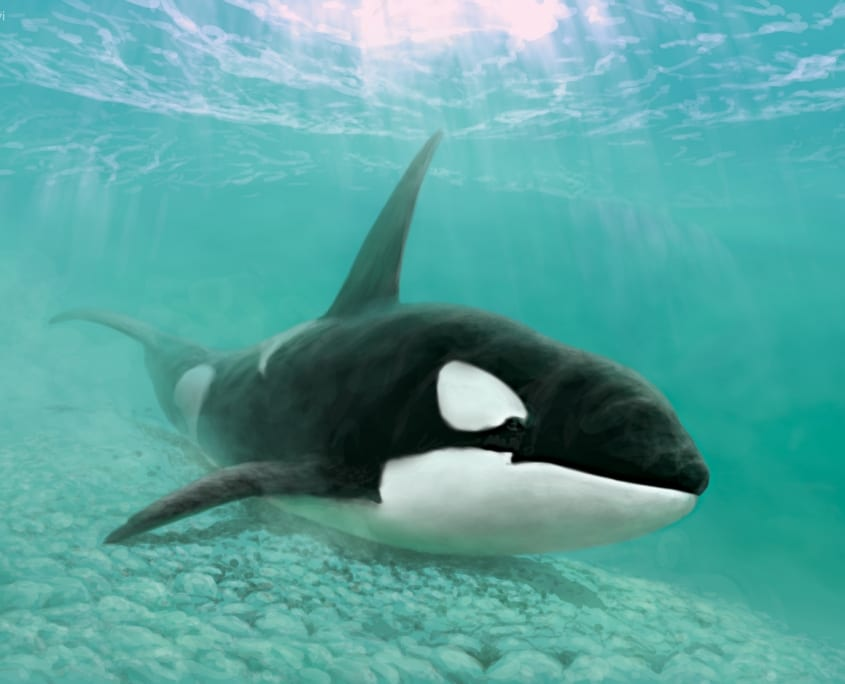 """Orca Belly Rub"" by Julius Csotonyi. Based on behaviour spotted along several BC shores, including near Campbell River, where northern resident orcas rub their bellies on smooth stones"
